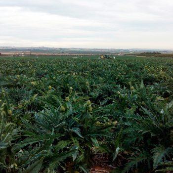 huerto-alcachofas-r